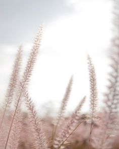 Dusty Rose Blush Field Of Wheat