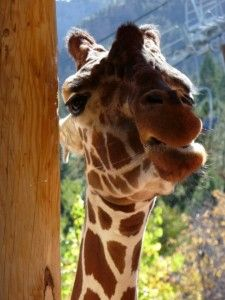 Cheyenne Mountain Zoo.  A HeidiTown, #Colorado favorite!