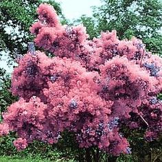 I found two of these Pink Smoke Tree shrubs discounted at my local garden center last year. I hope they made it through the winter. They are an unusual flowering plant with a touch of color when they bloom in summer. The leaves have a pretty change in the fall.