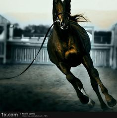 Thoroughbred- High Level Human Trainer, eventer, clicker work, bridleless show jumping, and etc.