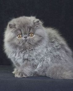 Persian Blues, once considered the apex of the breed, have been interbred with other colors to produce a more uniform type. Their pale silver-blue coats are most beautiful when viewed in natural light. #persiancatblue