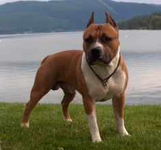 american staffordshire terrier | American Staffordshire Terrier Information and Pictures - Petguide
