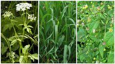Pro zahrádkáře úporný plevel, pro bylinkáře nedoceněné léčivky: Nenáviděná i milovaná trojka   1