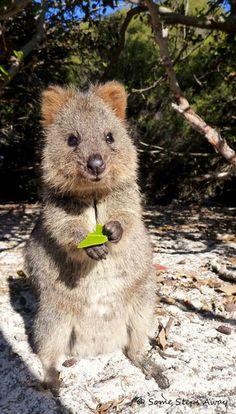 Some steps away: Rencontre avec le Quokka, le plus adorable des marsupiaux… Happy Animals, Cute Funny Animals, Animals And Pets, Mundo Animal, My Animal, Illustration Photo, Australian Animals, Little Critter, Tier Fotos