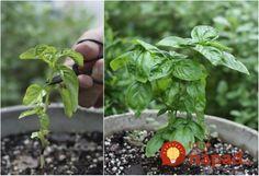 Cut Basil for Better Growing