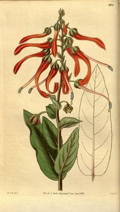 Lobelia mucronata v.60 [new ser.:v.7] (1833) - Curtis's botanical magazine.