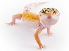 Geckos always smile