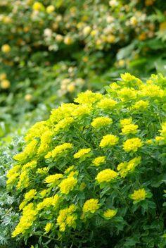 Euphorbia polychroma Gold - Wolfsmilch