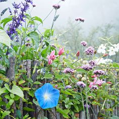 A Glorious Fall Flower Garden with an English Disposition | Martha Stewart Living - The stick fence keeps the space contained but not restricted, as plants are encouraged to grow between the saplings. Riddle loves how it doubles as a trellis for vines like Heavenly Blue' morning glories and 'Duchess of Albany' clematis.
