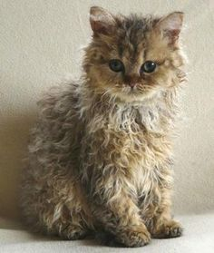 Is this an actual breed of cat? Adorable! LaPerm kitty ... Love