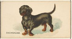 Issued by Goodwin & Company. Dachshund, from the Dogs of the World series for Old Judge Cigarettes, 1890. The Metropolitan Museum of Art, New York.  The Jefferson R. Burdick Collection, Gift of Jefferson R. Burdick (63.350.214.163.14).