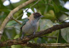 Lesser Antillean Tanager, Tan-gara cucullata: Grenada/ St Vincent