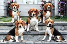 Bribery with food........that's the only way you get 5 beagles to all sit still at the same time  :-)