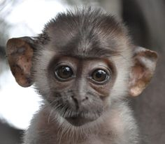 How Cute are You!!!!!!!!!Google Image Result for http://cercopan.wildlifedirect.org/files/2009/09/our-baby-mangabey-pica2.JPG