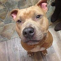 Lagrange, Indiana - Pit Bull Terrier. Meet King, a for adoption. https://www.adoptapet.com/pet/20670311-lagrange-indiana-pit-bull-terrier