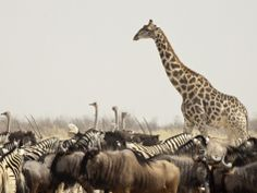 A Lone Giraffe Stands Tall at a Waterhole, Etosha National Park, Namibia, Africa Photographic Print by Wendy Kaveney at AllPosters.com