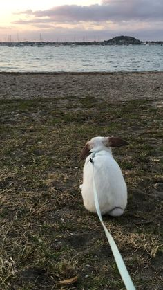 Nibbles' first experience at the beach. Mini lop, New Zealand beaches