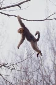 Straight Monkey picture swinging cum never