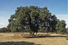 La Terrona, la encina más grande y vieja del mundo.