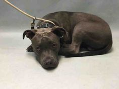 Brooklyn Center LESLY – A1078749 MALE, GRAY / WHITE, AM PIT BULL TER MIX, 1 yr STRAY – STRAY WAIT, NO HOLD Reason STRAY Intake condition EXAM REQ Intake Date 06/24/2016, From NY 11693, DueOut Date06/27/2016