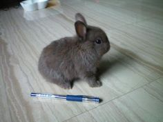 Netherland Dwarf rabbit... so tiny!!!! Don't usually grow above two and a half pounds.