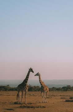 A memorable trip to Kenya for my birthday, Giraffe kisses & safaris! Cute Creatures, Beautiful Creatures, Animals Beautiful, Nature Animals, Animals And Pets, Cute Animals, Kenya, Tanzania, Home Bild