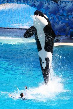 """Attack of the killer whale"", SeaWorld San Diego.  Trainer: Matt.  Killer whale:  Corky"