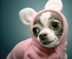 animal costumes, bunny costume, chihuahua, costume, cute, dog