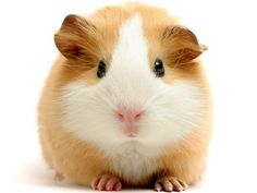 Our late, beloved Goldie looked very much like this smack talk guinea pig.