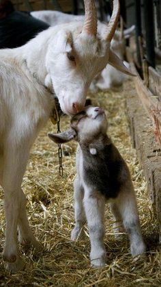 Country Living - Goats