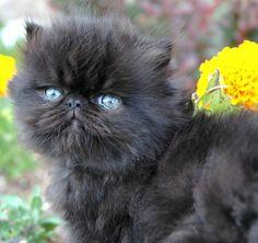 Persian kitten | Flickr - Photo Sharing!