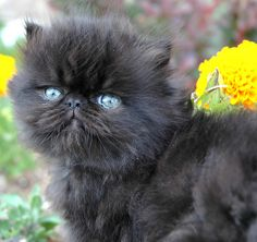 Persian kitten | Flickr - Photo Sharing! - Spoil your kitty at www.coolcattreehouse.com
