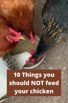 In this article, you can find 10 things you should NOT feed your chickens. CLICK on TITLE to read article.#chickens #feed #health What To Feed Chickens, Types Of Chickens, Raising Backyard Chickens, Keeping Chickens, Chicken Home, Chicken Garden, Best Chicken Coop, Chicken Coops, Chicken Feeders