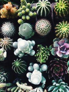 Cactus diversos.