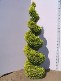 Trees Planet: Cupressocyparis leylandii - Leyland Cypress Leylandii Hedge, Monterey Cypress, Topiary Trees, Vascular Plant, Garden Shrubs, Carnivorous Plants, Ornamental Plants, White Gardens, Hedges