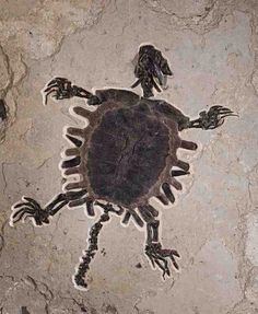 Fossilized turtle.