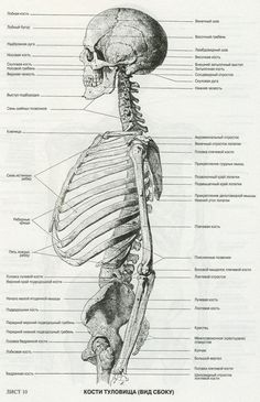 An Atlas for Anatomy for artisti., Fritz Schider. Skeleton.