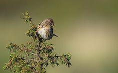 Lesser Redpoll, Norway | by janmangorfagerland Bird Watching, Norway, Birds, Friends, Happy, Animals, Amigos, Animales, Animaux