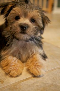99 Best Dogs Morkie Images Yorkies Yorkshire Yorkshire Terriers