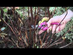 Tailler l'hortensia - Détente Jardin
