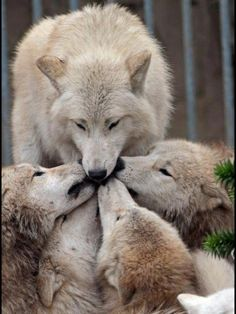 Mom's home ...Happy Mother's Day!! but the  real reason they are kissing that wolves mouth is because its the alpa and the other wolves have to kiss/lick the alpa mouth
