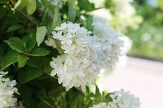 """Smooth hydrangea """"Annabelle"""" (Hydrangea arborescens """"Annabelle"""") is named for its place of discovery, near the town Anna, Illinois. The """"belle"""" of the town, """"Annabelle"""" offers white, mop-head blooms 8 to 12 inches wide and grows in clumps 3 to 5 feet tall and 4 to 6 feet wide. Hardy in U.S...."""