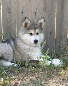 Alaskan Malamute Puppy Doggies, Pet Dogs, Dogs And Puppies, Dog Cat, Pets, Alaskan Malamute Puppies, Malamute Husky, Funny Animal Jokes, Funny Animals