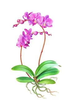 Phalaneopsis Orchid by Karen Kluglein