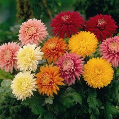 Chrysanthemum You might not be able to pronounce this one, but you definitely can admire its beauty! This perennial comes in many different shades, so choose the best that will match your yard!