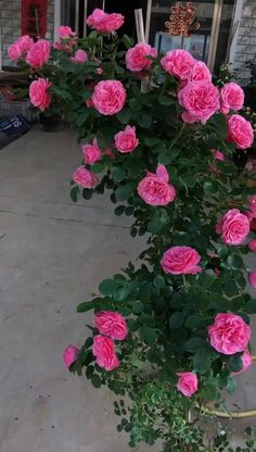 Flowering Bonsai Tree, Perennial Flowering Plants, Beautiful Rose Flowers, Amazing Flowers, Good Morning Flowers Rose, Echeveria, Rose Flower Pictures, Camellia Plant, Rose Flower Wallpaper