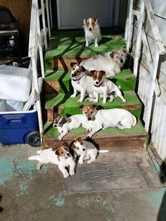 Forget crazy cat lady if I could I'd be crazy Jack Russell lady with all these beautiful dogs.