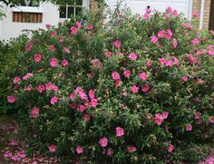 Buy rock rose Cistus × purpureus - Large, bright pink flowers: Delivery by Crocus Drought Resistant Landscaping, Drought Tolerant, Shrubs For Borders, Mediterranean Plants, Rock Rose, Garden Site, Cottage Garden Plants, Low Maintenance Garden, Flowering Shrubs