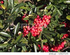 Fruit of the Japanese hawthorn | 山査子(サンザシ)の赤い実