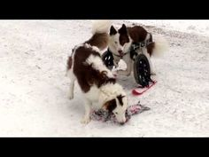 The Snowy Weather isn't Stopping This Disabled Dog From Enjoying Winter - World's largest collection of cat memes and other animals Snow Gif, Disabled Dog, Snowy Weather, Go Skiing, Types Of Dogs, Roosevelt, Winter Season, Border Collie, Best Dogs